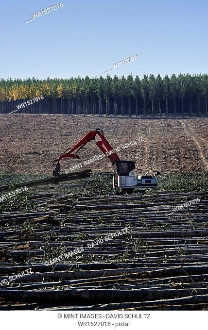 A mechanised grabber sorting felled poplar tree trunks on a plantation