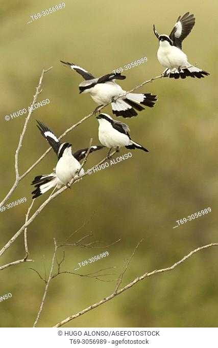 Group of youngs. Great grey shrike, northern grey shrike, or northern shrike (Lanius excubitor) Kenia. Africa