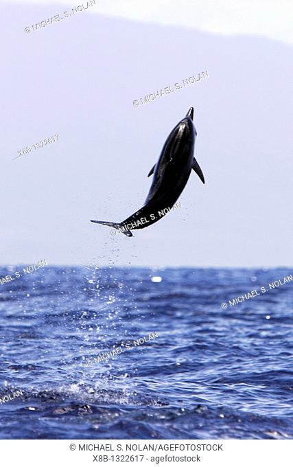 Young Hawaiian Spinner Dolphin Stenella longirostris leaping in the AuAu Channel off the coast of Maui, Hawaii, USA  Pacific Ocean