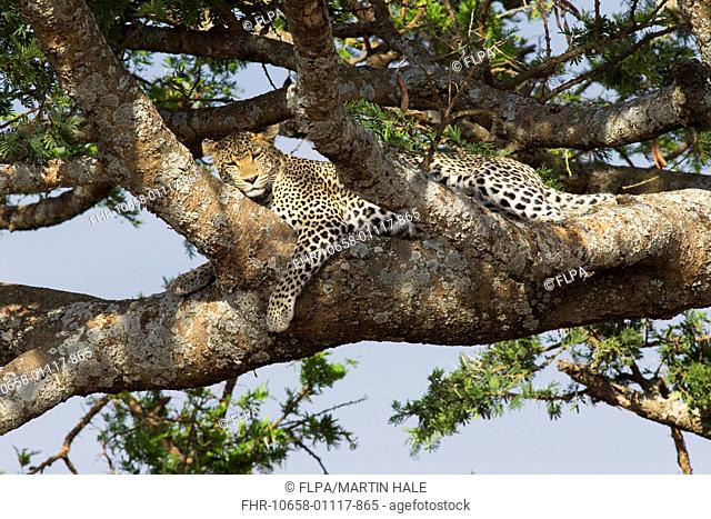 African Leopard (Panthera pardus pardus) adult, resting on tree branch, Serengeti N.P., Tanzania, July