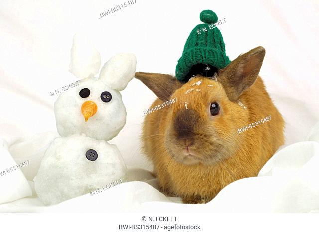 Netherland Dwarf (Oryctolagus cuniculus f. domestica), rabbit with snow rabbit