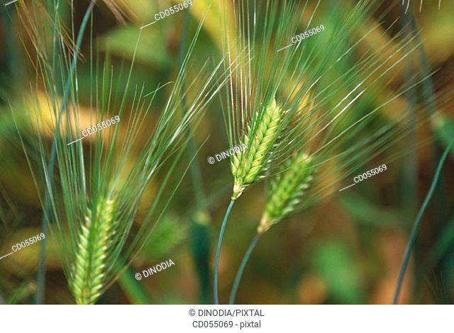 Wheat. Sikkim. India