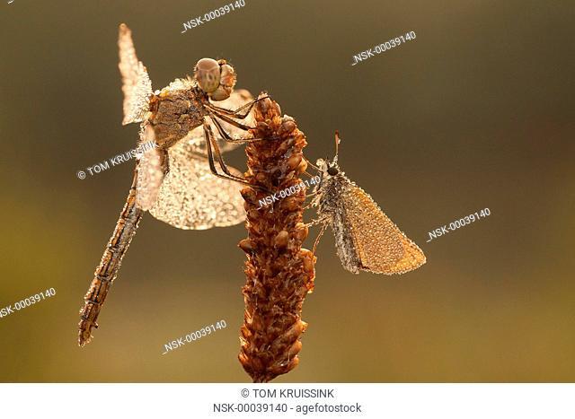 Vagrant Darter (Sympetrum vulgatum) and Essex Skipper (Thymelius lineola) resting on a plant, the Netherlands, Overijssel, Gramsbergen