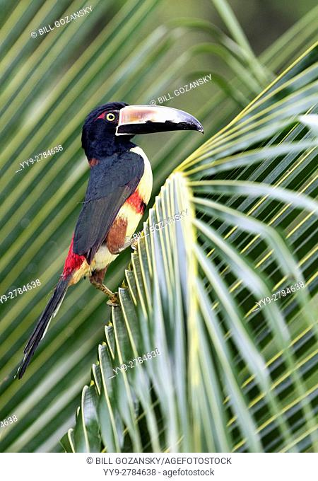 Collared Aracari - La Laguna del Lagarto Lodge - Boca Tapada, San Carlos, Costa Rica