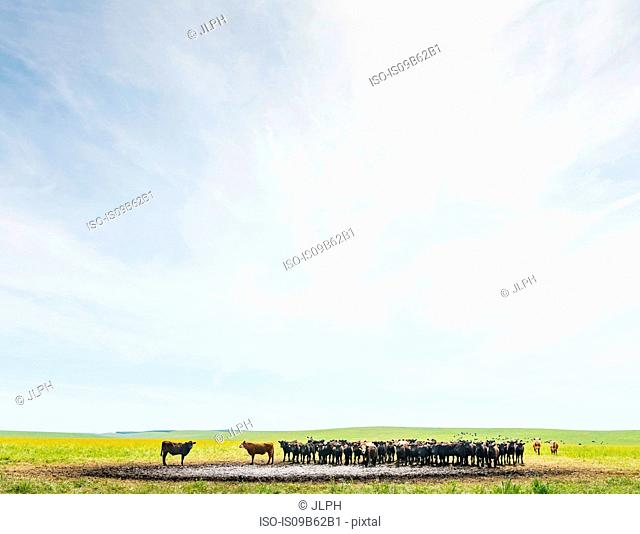 Herd of cows at watering hole in field landscape