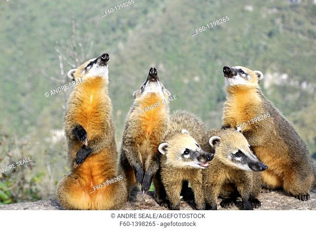 Wild coatis (Nasua nasua) pose for photos as they wait for food from tourists at the top of Serra do Rio do Rastro, Santa Catarina, Brazil