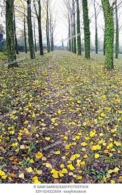 Rows of trees with yellow leaves and ivy at fall