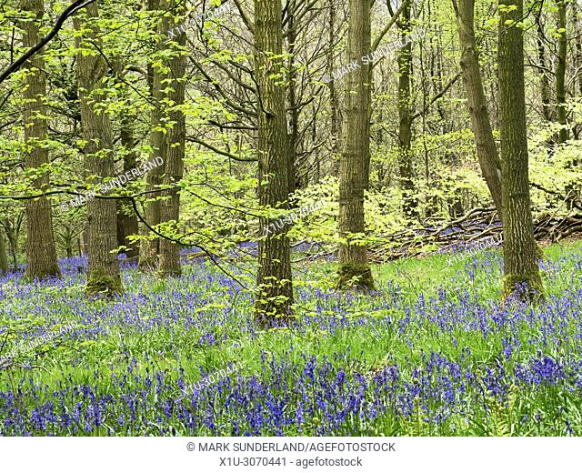 Bluebells in Hollybank Wood from Hollybank Lane on the Nidderdale Way near Ripley North Yorkshire England