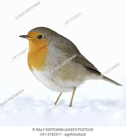 Beautiful Robin Redbreast ( Erithacus rubecula ) sitting in snow on the ground, fluffy plumage, cold winter, wildlife, Europe.