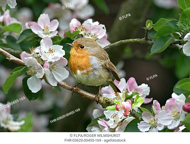 European Robin Erithacus rubecula Adult in Apple blossom - Washington, West Sussex, England