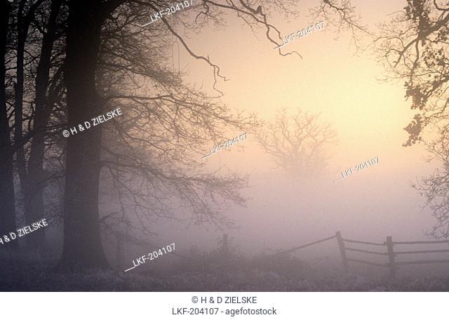 Europe, Germany, Hesse, oak trees in Reinhardswald