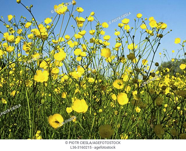 Spring flowers. Poland
