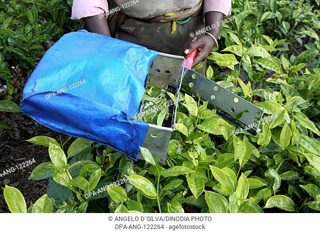 Woman hand cutting of tender tea leaves of tea plant by cutter with plastic bag Latin name Camellia sinensis fresh Foliage ; Tea gardens at Munnar; Kerala;...