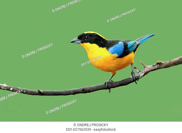 Blue-winged Mountain-tanager, Anisognathus somptuosus