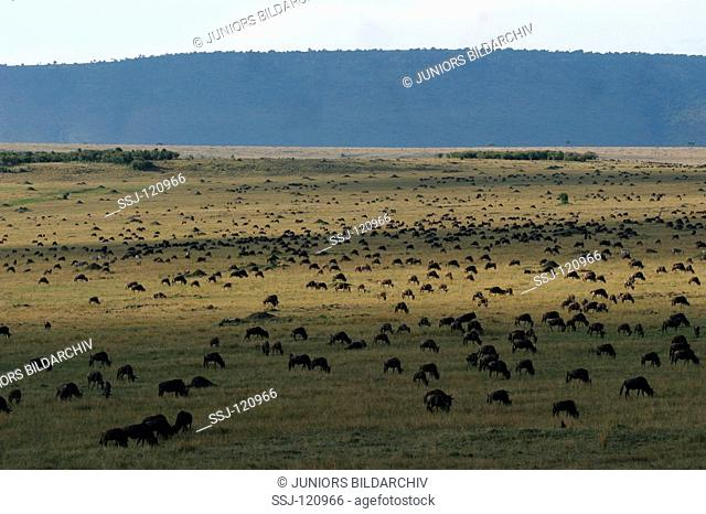 Herd of brindled gnus - in Savannah / Connochaetes taurinus albojubatus