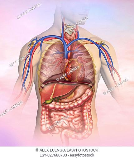 Anatomical and descriptive illustration of the thorax and abdomen of the human body