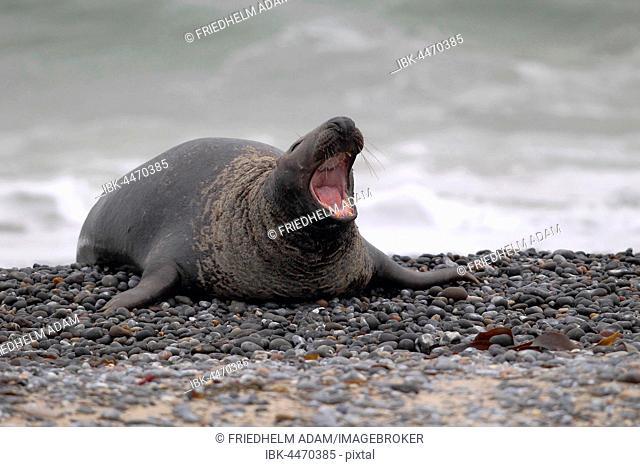 Grey Seal (Halichoerus grypus), yawning bull on beach, Helgoland, North Sea, Germany