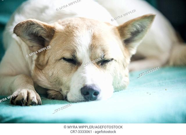 Norrbottenspets dog resting on a mint colored bed