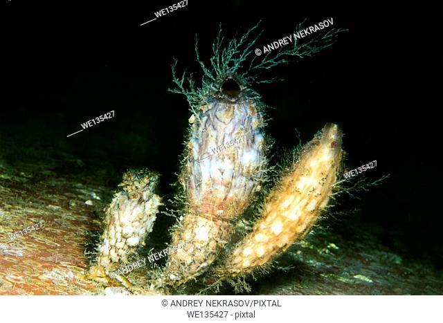 Stalked Sea Squirt (Styela clava) Sea of Japan, Far East, Primorsky Krai, Russian Federation