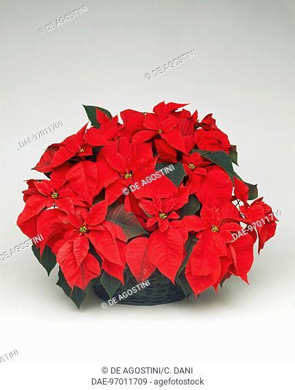 Poinsettia, Christmas flower or Winter rose (Poinsettia pulcherrima or Euphorbia pulcherrima), Euphorbiaceae
