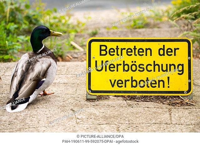 """08 June 2019, Hessen, Wiesbaden: A drake stands on the embankment next to a prohibition sign """"""""Do not enter the embankment"""""""""""