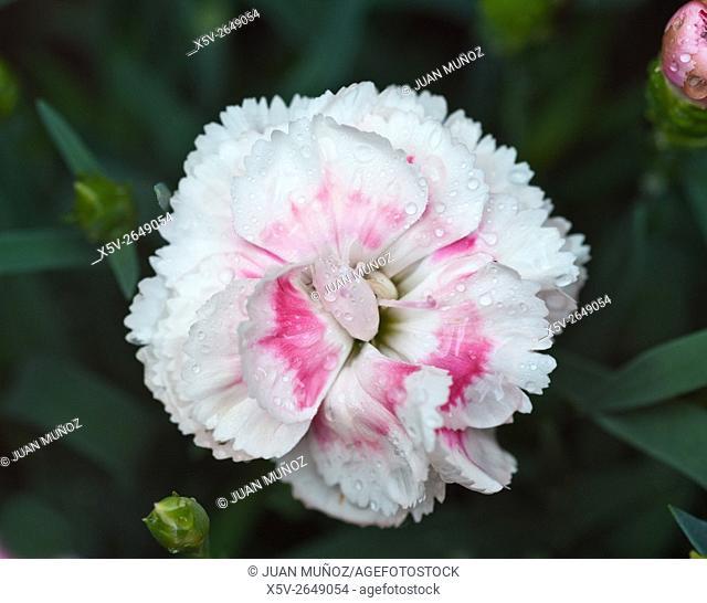 Clavellinas. Dianthus sp