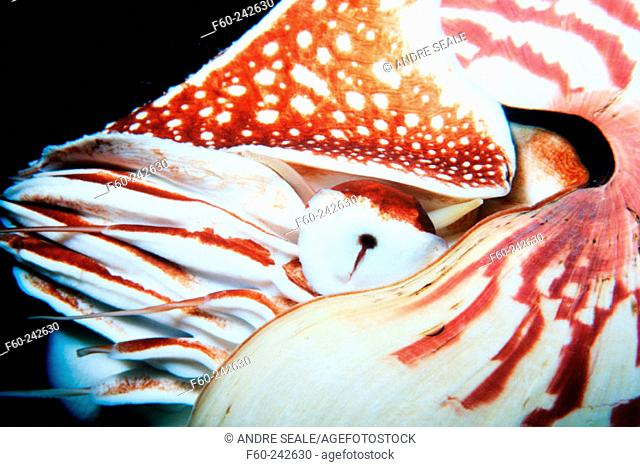 Nautilus (Nautilus sp.). Oahu, Hawaii. USA
