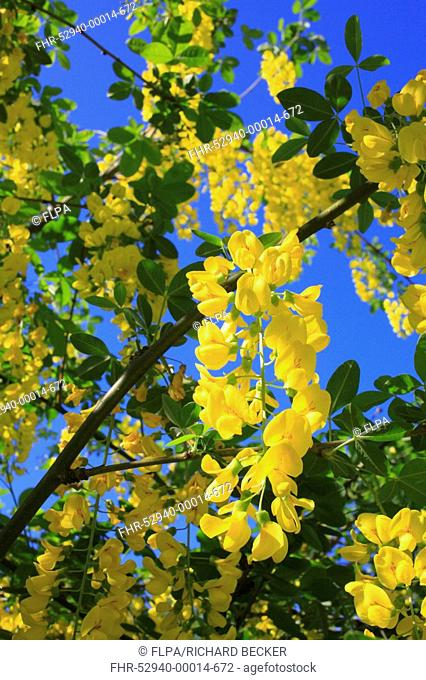 Common Laburnum Laburnum anagyroides close-up of flowers, in garden, Powys, Wales