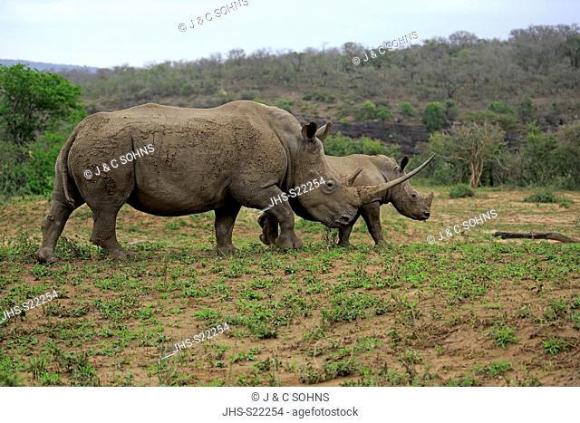 White Rhinoceros, Square-Lipped Rhinoceros, (Ceratotherium simum), adults female with young walking, Hluhluwe Umfolozi Nationalpark