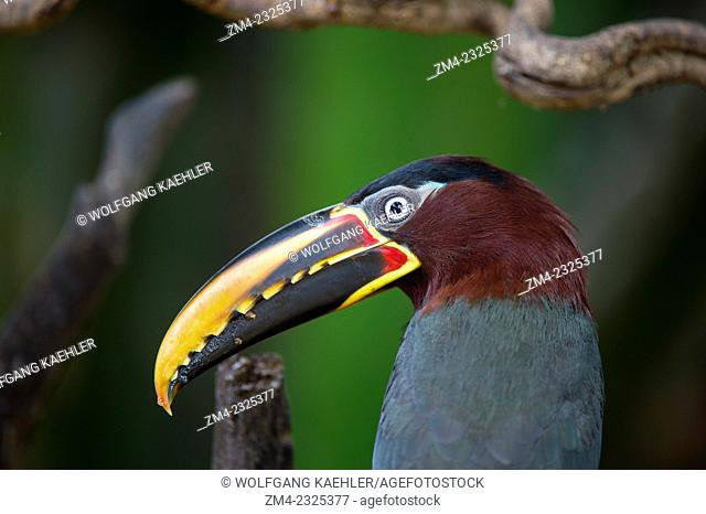 Close-up of a chestnut-eared aracari (Pteroglossus castanotis) on a branch of a tree near the Pixaim River in the northern Pantanal