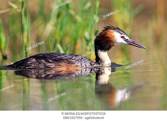 Europe, France, Ain, Dombes, Great Crested Grebe Podiceps cristatus, adult