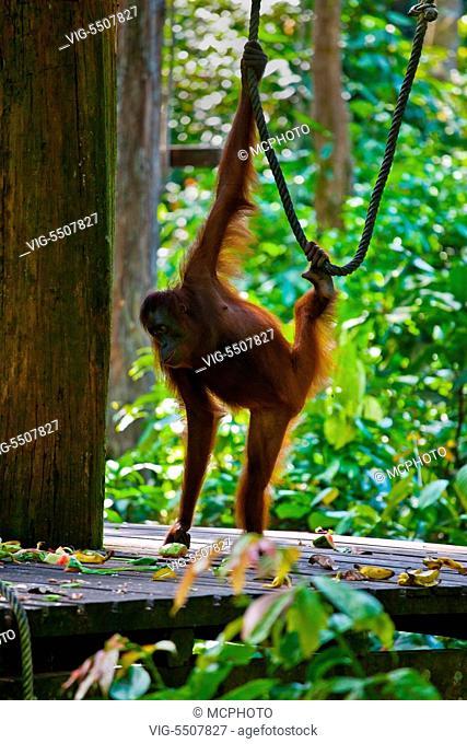 An orangutan (Pongo pygmaeus) at the Sepilok Orangutan Rehabilitation Center in the Kabili Sepilok Forest near Sandakan - MALAYSIA, BORNEO - , 04/04/2014