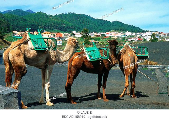 Dromedaries with saddles volcano San Antonio Fuencaliente La Palma Canary Islands Spain Camelus dromedarius One-humped camel