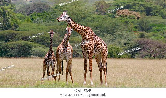 MASAI GIRAFFES WALKING & WAITING; MAASAI MARA, KENYA, AFRICA; 31/01/2016