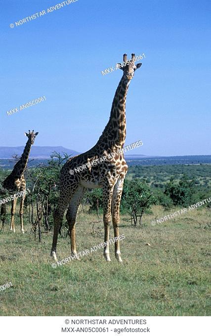 Giraffe, Serengeti Plains, Tanzania