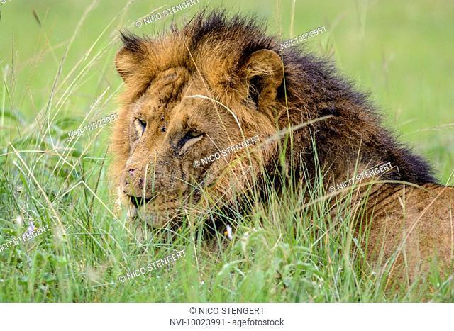 Lion (Panthera leo), Queen Elizabeth National Park, Uganda, Africa