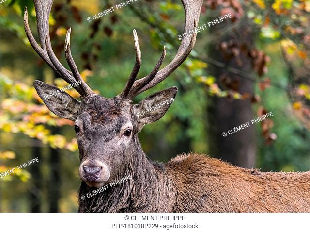 Red deer (Cervus elaphus) stag / male with huge antlers in autumn forest in the Ardennes during the hunting season