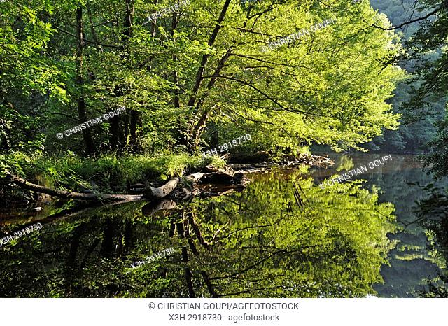 Alder trees on the Sioule River banks, Puy-de-Dome department, Auvergne-Rhone-Alpes region, France, Europe