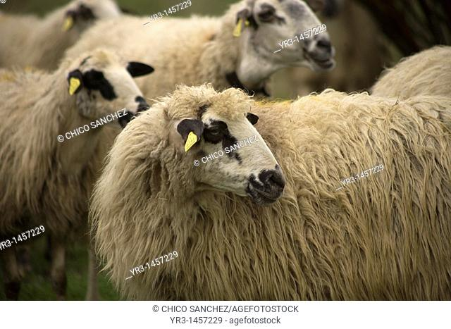 Sheep graze in a farm in Rabanal del Camino village, located in the French Way that leads to Santiago de Compostela, Maragateria region, Leon province, Spain