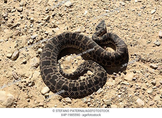 Snake on the altiplano, Quebrada Palala, Tupiza, Bolivia