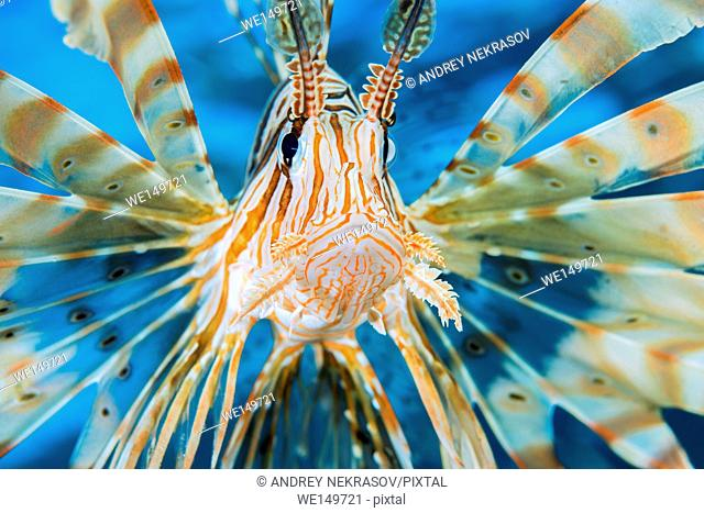 Portrait of Red lionfish (Pterois volitans), Red sea, Dahab, Sinai Peninsula, Egypt