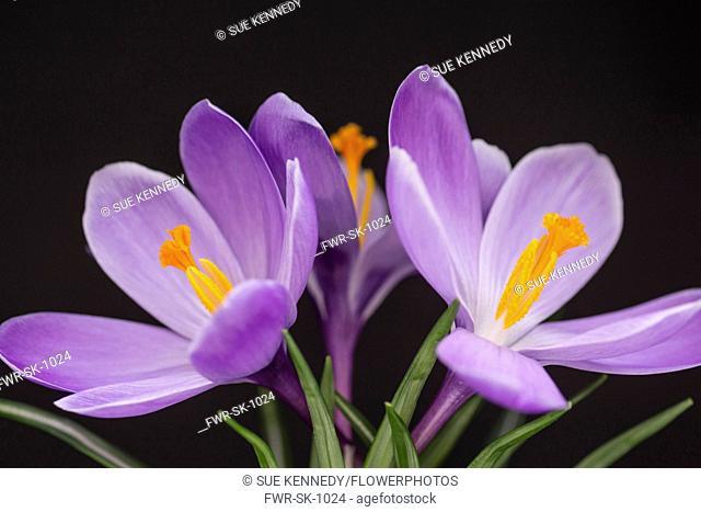 Crocus, Early crocus, Crocus tommasinianus, Studio shot of purple flowers showing orange stamens