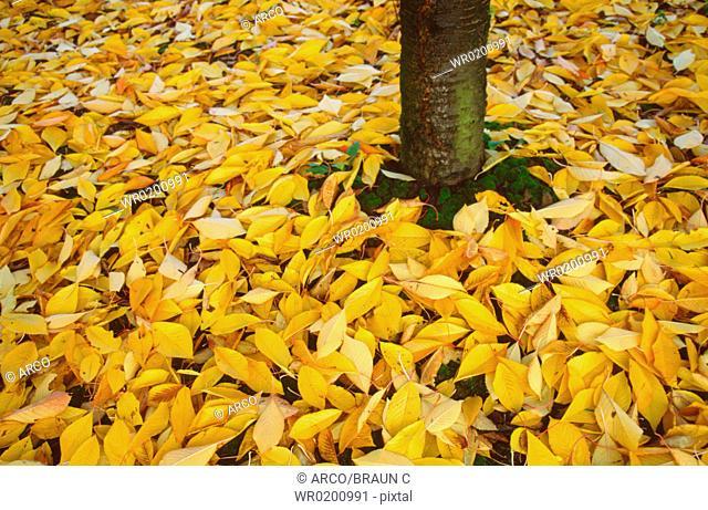 Cherry, tree, and, autumn, foliage, Rhineland-Palatinate, Germany