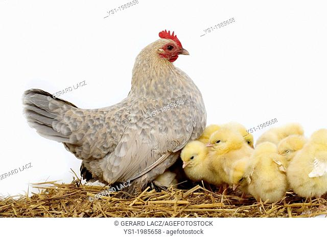 Barbu D'Uccle Domestic Chicken, Breed from Belgium, Hen and Chicks against White Background