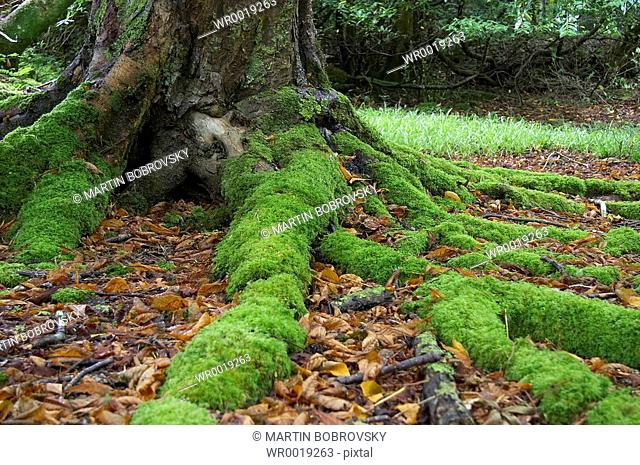 tree with mossy roots