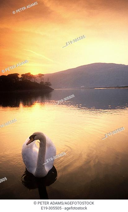 Swan on Dolgellan. Wales, UK
