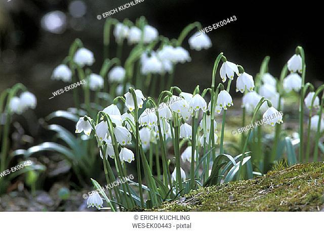 snowdrops, Leucojum vernum