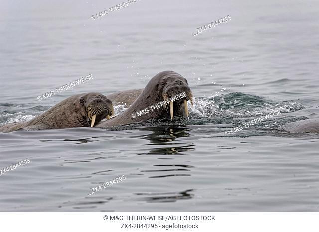 Walrus (Odobenus rosmarus) in water, Spitsbergen Island, Svalbard Archipelago, Norway,