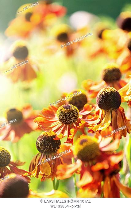 Tranquil summer nature scene, close up of flowers in sunlight