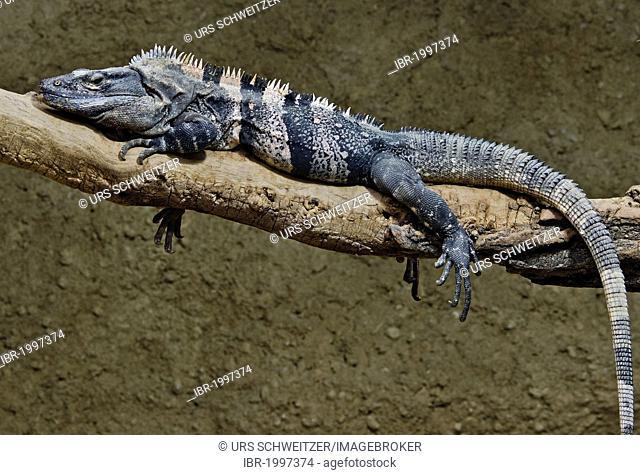 Black Spiny-tailed Iguana, Black Iguana, or Black Ctenosaur (Ctenosaura similis), Zoologischer Garten Berlin zoo, Berlin, Germany, Europe